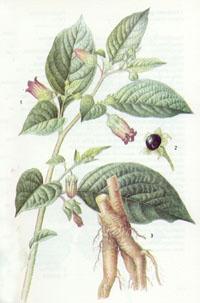 belladonna1.jpg
